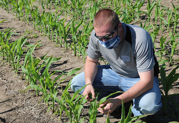 Jake Ingli, a CVTC Agronomy Management student from Plum City, now living in Ellsworth, inspects the growth of corn at a CVTC field on the east side of Menomonie earlier this summer. Students have returned to hands-on learning at CVTC when necessary, and outdoor work provides the perfect opportunity.